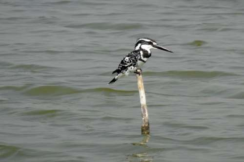 Kingfisher Pied Kingfisher Ceryle Rudis Bird Beak