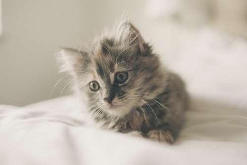 Kitten Cute Cat Animal Pet Domestic Young Fur