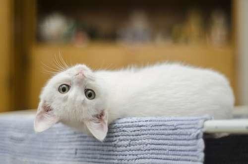 Kitten Cute Cat White Domestic Cute Cat Feline
