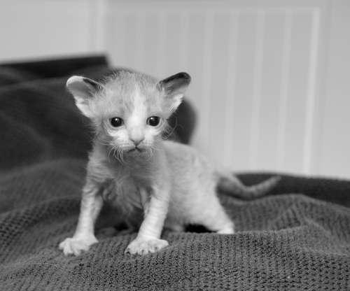 Kitten Cute Cat Animals Pets Curious Eyes