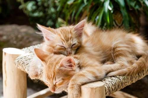 Kittens Pets Sleeping Cats Animal Domestic Cute