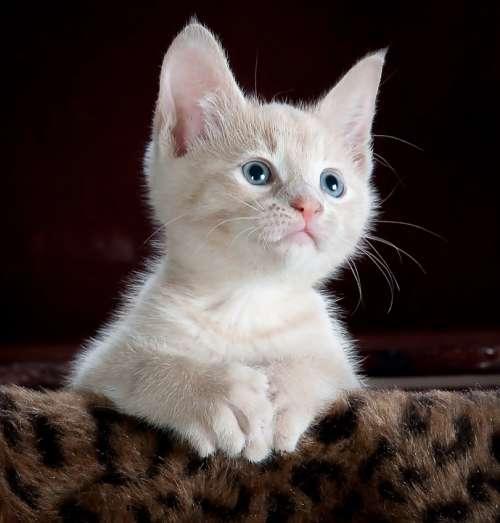 Kitty Cat Kitten Pet Animal Cute Feline Domestic