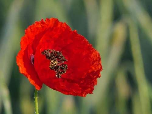 Klatschmohn Flower Red Blossom Bloom Poppy Flower
