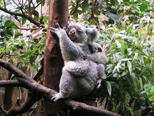 Koala Baby Cute Mammal