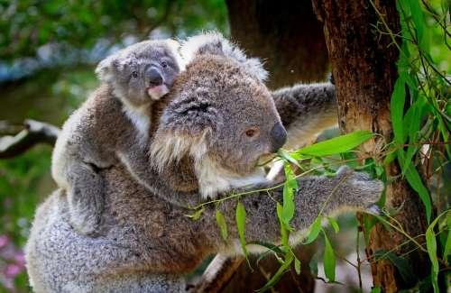 Koala Animals Mammals Australian Grey Furs Furry