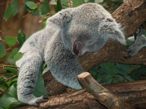 Koala Bear Australia Teddy Sleep Lazy Rest Animal