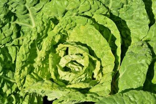 Kohl Cabbage Vegetables Leaves Green Healthy Crop