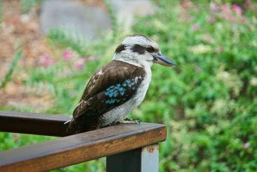 Kookaburra Australia Bird Resting Blue Wing