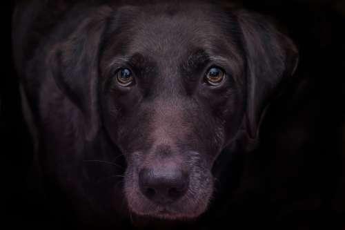 Lab Dog Chocolate Domestic Labrador Retriever Pet