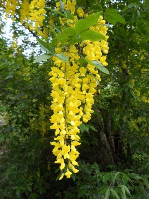 Laburnum Yellow Flower Nature Blossom Bloom Plant