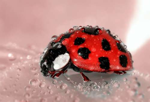 Ladybug Beetle Insect Lucky Charm Red Points