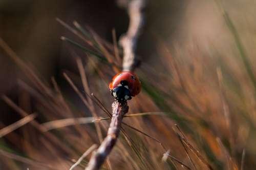 Ladybug Ladybird Beetle Red Black White Insect