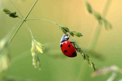 Ladybug Beetle Coccinellidae Insect Nature Red