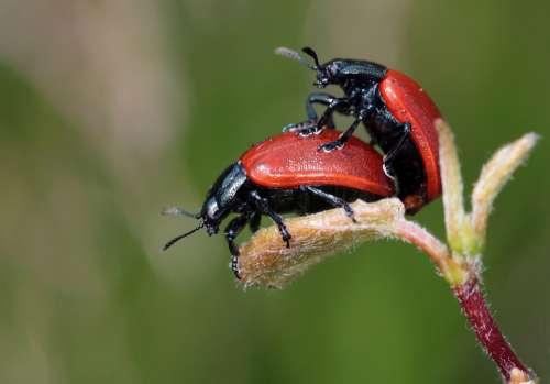 Ladybug Beetle Insect Nature Close Up Animal