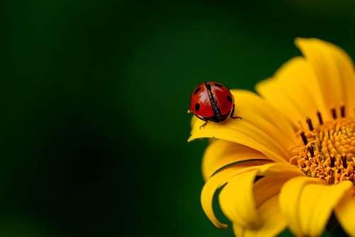 Ladybug Insect Beetle Nature Spring Sunflower