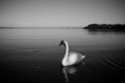 Lake Constance Swan Bird Animal Lake Quiet