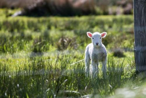 Lamb Baby Animals Sheep Animal Cute Spring Wool