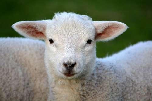 Lamb Livestock Animal Mammal Farm Animals Furry