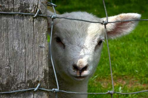 Lamb Fence Animal Spring Countryside Caged