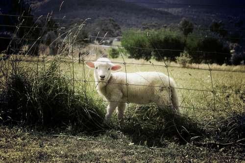 Lamb Sheep Farm Animal Countryside Grass Field