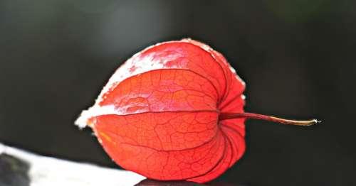 Lampionblume Physalis Alkekengi Ornamental Plant