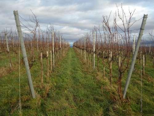 Landscape Vines Winegrowing Wine Region Vineyard
