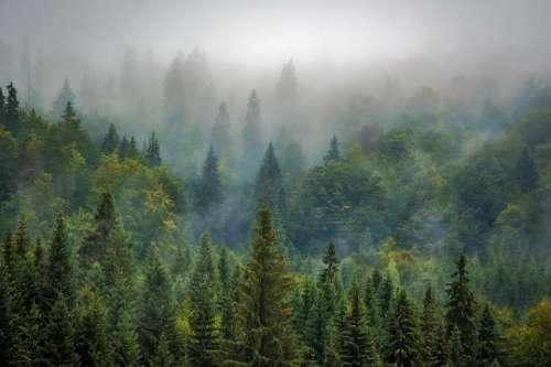 Landscape Nature Forest Fog Misty Pine