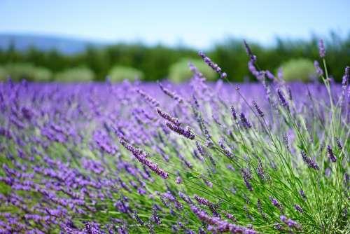 Lavender Lavender Field Lavender Flowers Flowers