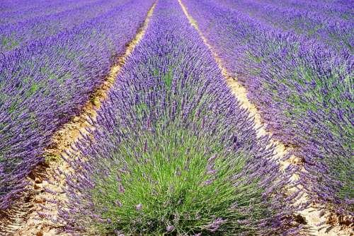 Lavender Lavender Field Lavender Flowers Blue