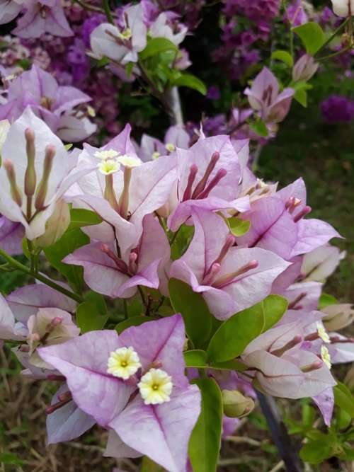 Lavender Bougainvillea Flower Plant Bloom Summer