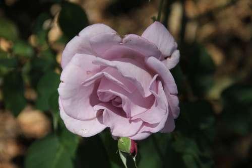 Lavender Rose Garden Flower
