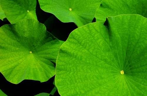Giant Leaf Lotus Lotus Leaf Botanical Garden Leaves