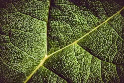Leaf Giant Rhubarb Mammoth Sheet Giant Leaves