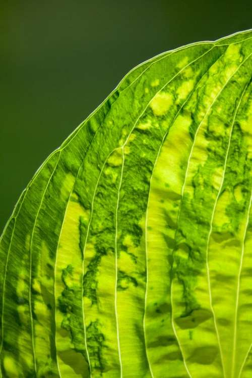 Leaf Leaf Veins Green Nature Leaves Plant