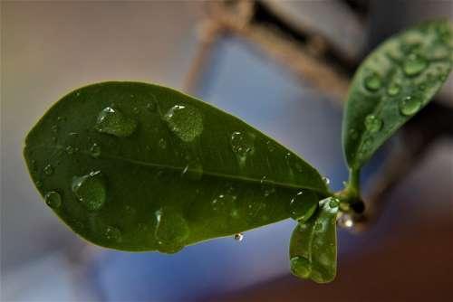 Leaf Rain Drops Dew Nature Water Leaves Green