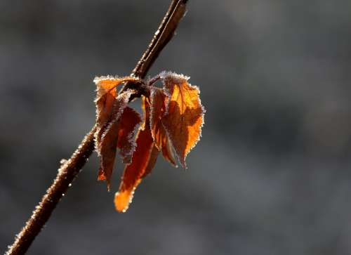 Leaf Yellow Frozen Color Winter Casey Cold