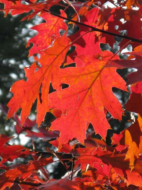 Leaf Fall Foliage Autumn Leaves Forest Red