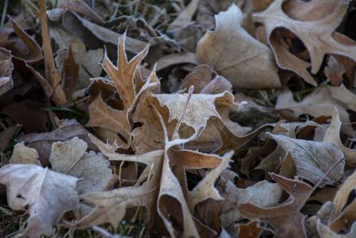 Leave Leaf Frost Frosty Fall Autumn Trees Nature
