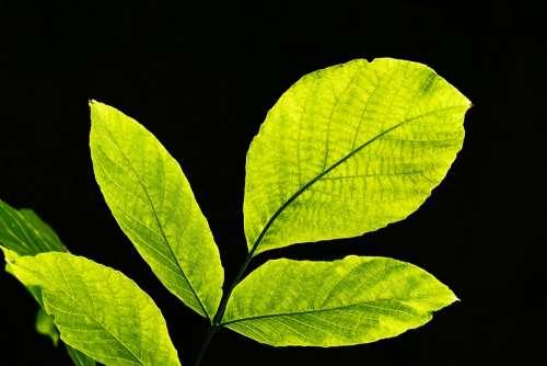 Leaves Backlighting Nature Leaf Bright Light Green