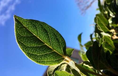 Leaves Leaf Green Nature Sky Blue Macro Details
