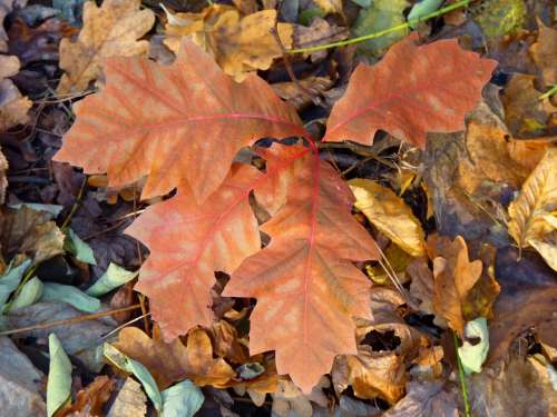 Leaves Autumn Leaf Fall Foliage Nature