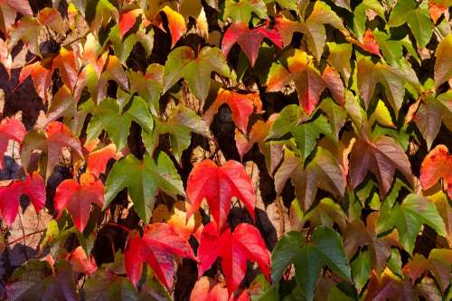 Leaves Fall Autumn Colors Red Green Yellow Brown