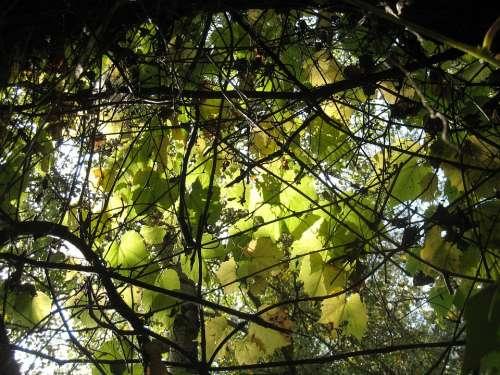 Leaves Wild Grapes Autumn Lights Sunshine