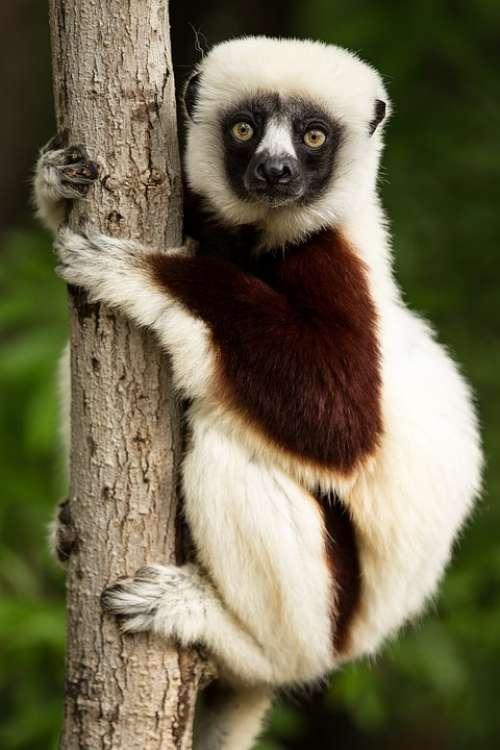 Lemur Wildlife Madagascar Coquerel'S Sifaka Sifaka