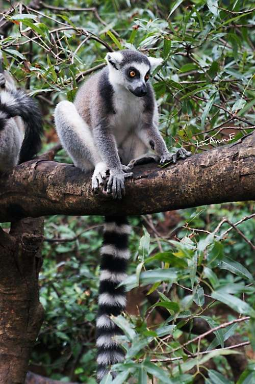 Lemur Animal Cute Moe Madagascar