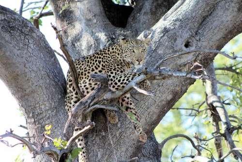 Leopard Predator Wildlife Africa Dangerous