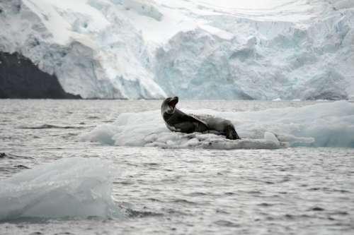 Leopard Leopard Seal Ice Glacier Antarctica