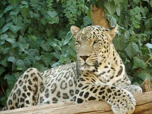 Leopard Resting Big Cat Animal Wildlife Predator