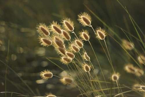 Grasses Nature Seeds Summer Fluffy