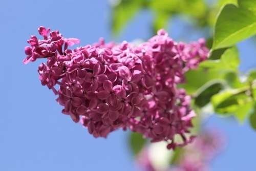Lilac Ornamental Shrub Flowers Blossom Bloom